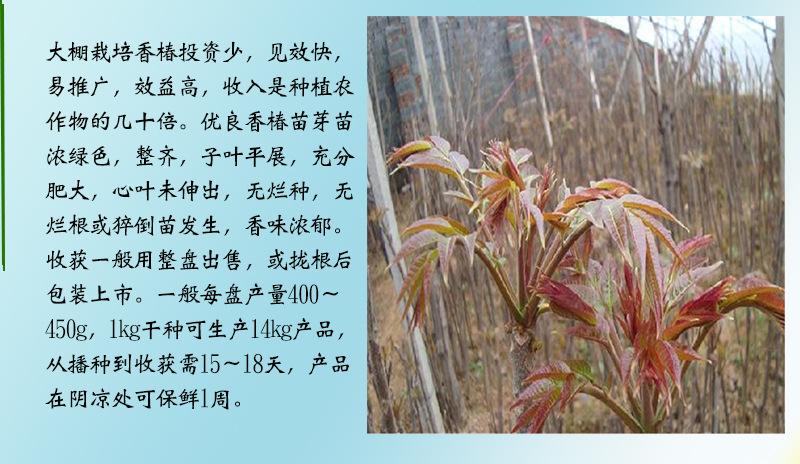 绿油香椿苗潮州多少钱一棵
